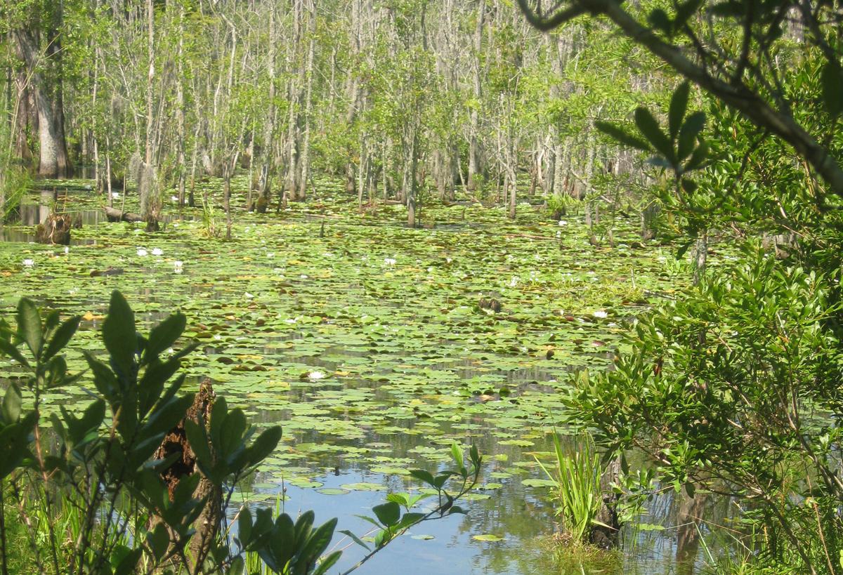 waterliliesresized